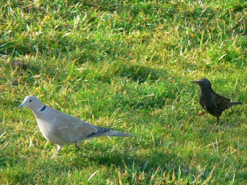 les oiseaux de nos contrées P1030026