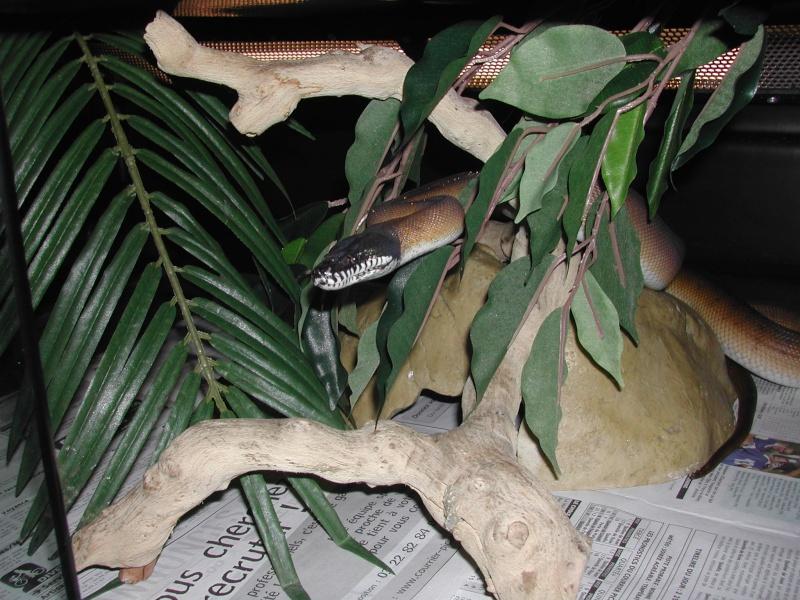 Leiopython albertisi - Page 4 00311