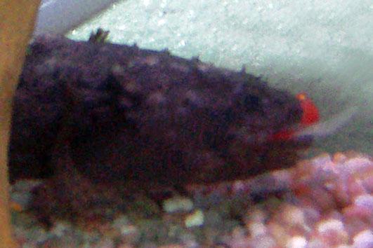 Batrachomoeus trispinosus 100_5114