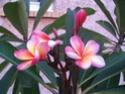 provoquer une floraison de frangipanier Frangi10