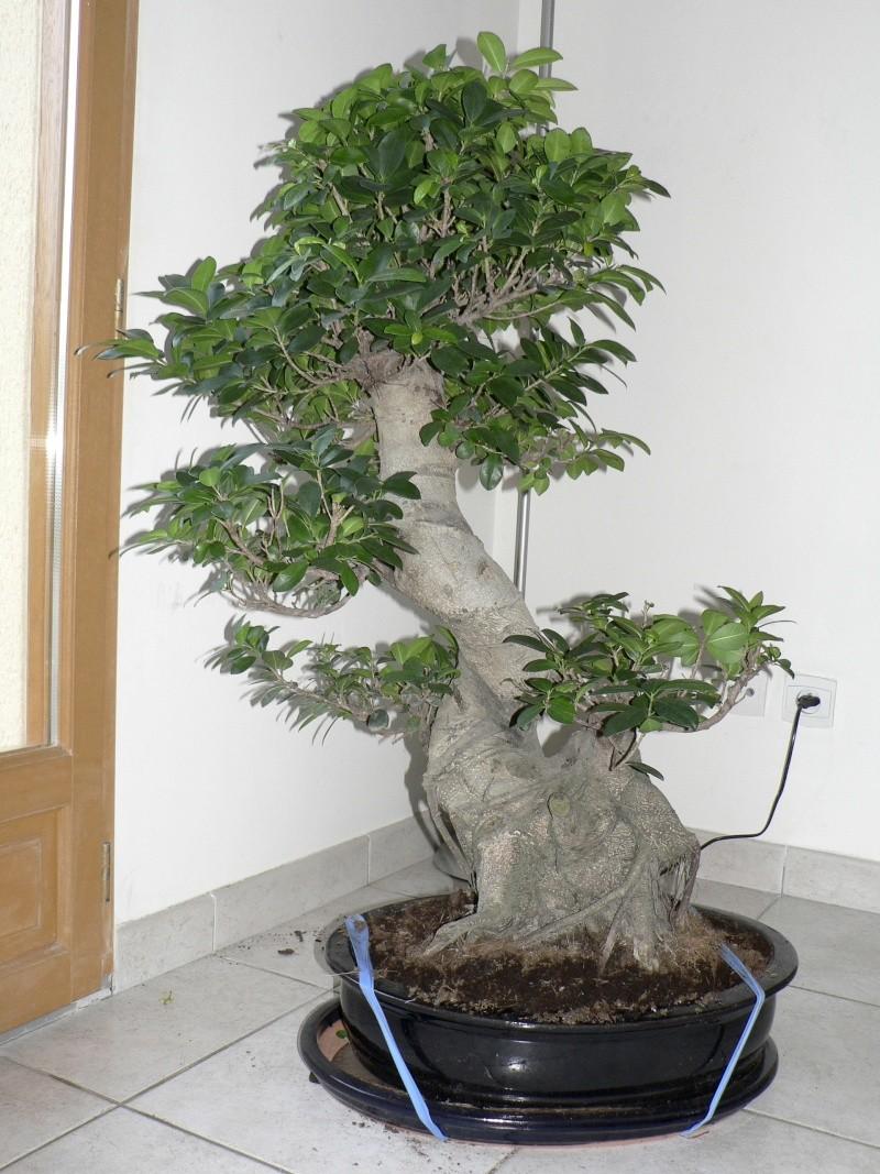 Ficus Retusa pour moi aussi Ficus210
