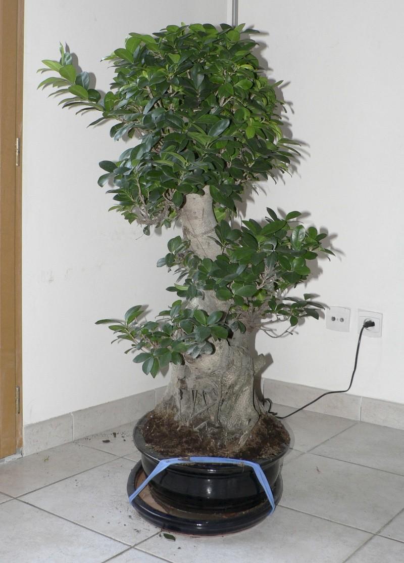 Ficus Retusa pour moi aussi Ficus310