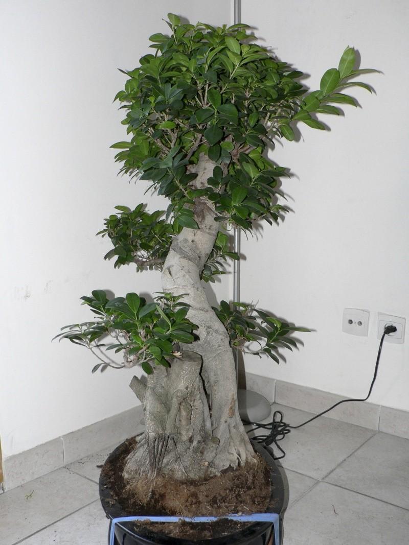 Ficus Retusa pour moi aussi Ficus410