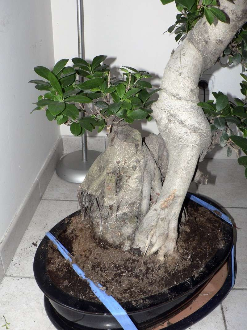 Ficus Retusa pour moi aussi Ficus510