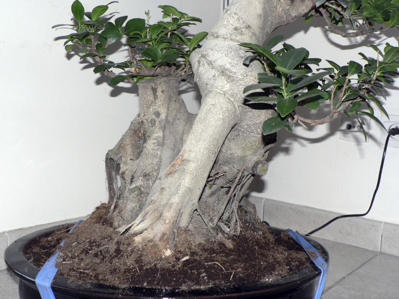 Ficus Retusa pour moi aussi Ficus610