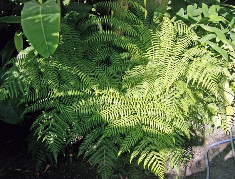 Cyathea australis Hpim0538