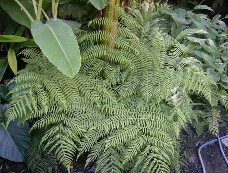 Cyathea australis Hpim0610