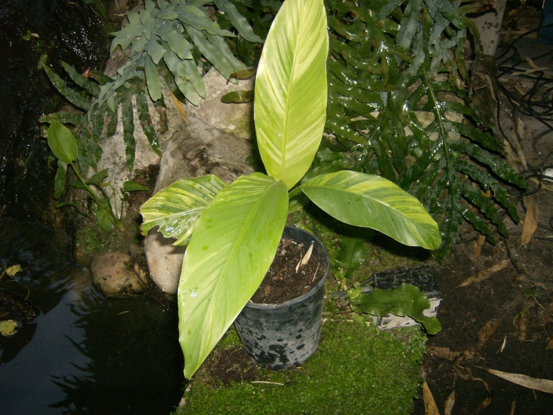 Musa basjoo variegata : le st Graal enfin trouvé  Photo_35