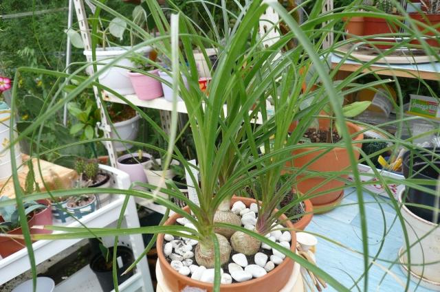 Beaucarnea recurvata Beauca10