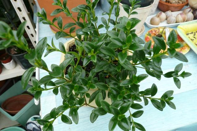 POISSON ROUGE:PLANTE Plante10