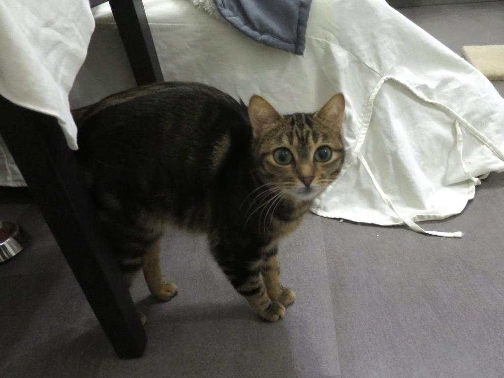 Trouvées chatte tigrée et chatte beige à Colomiers (Médiathèque) Img_7111