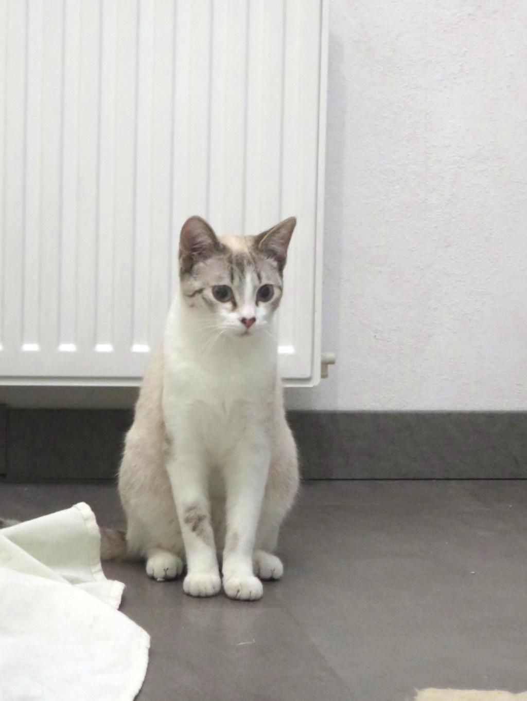 Trouvées chatte tigrée et chatte beige à Colomiers (Médiathèque) Img_7113