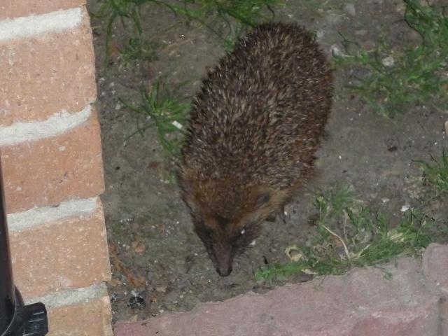 petit visiteur nocturne P1040114