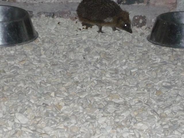 petit visiteur nocturne P1040115