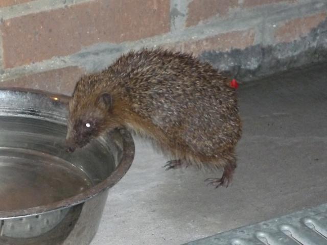 petit visiteur nocturne P1040117