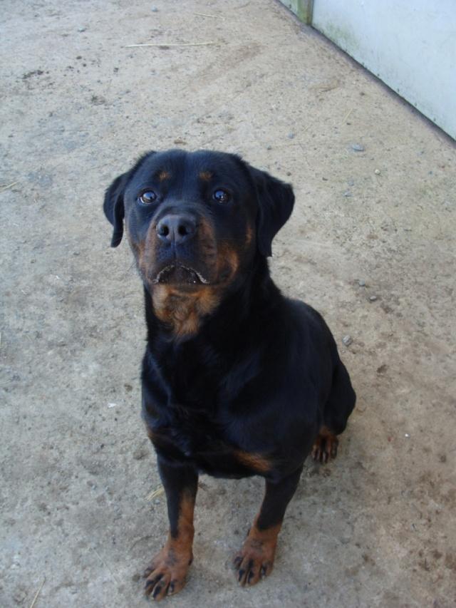 Titos Rottweiler miniature de 1,5ans (72) Dsc03810