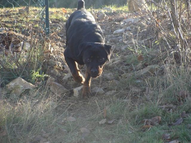 Titos Rottweiler miniature de 1,5ans (72) Dsc03811