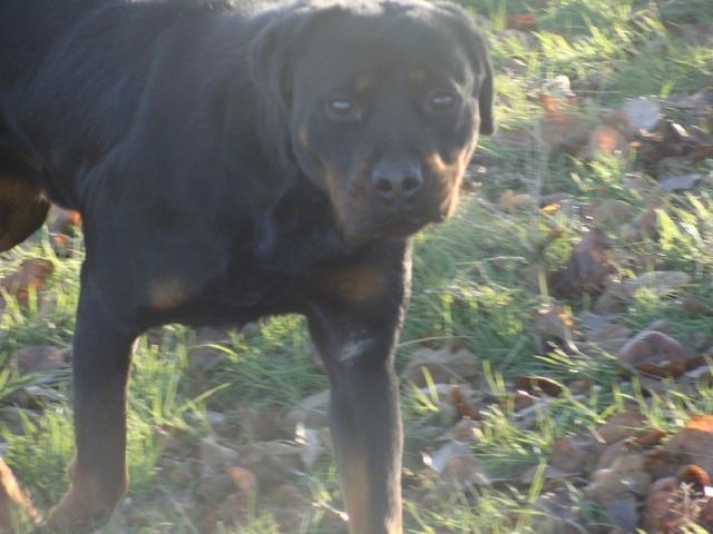 Titos Rottweiler miniature de 1,5ans (72) Dsc03812