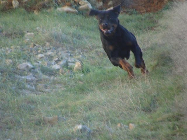 Titos Rottweiler miniature de 1,5ans (72) Dsc03813