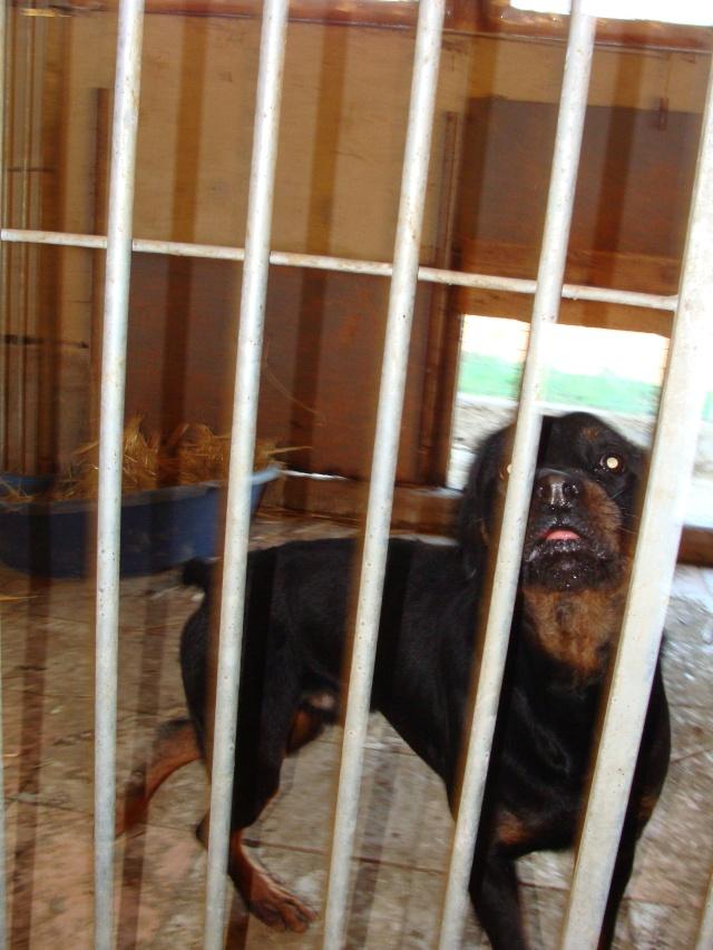 Titos Rottweiler miniature de 1,5ans (72) Dsc03814