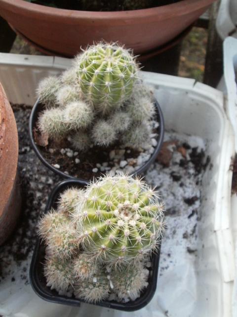 Cactus en fleurs P7280212