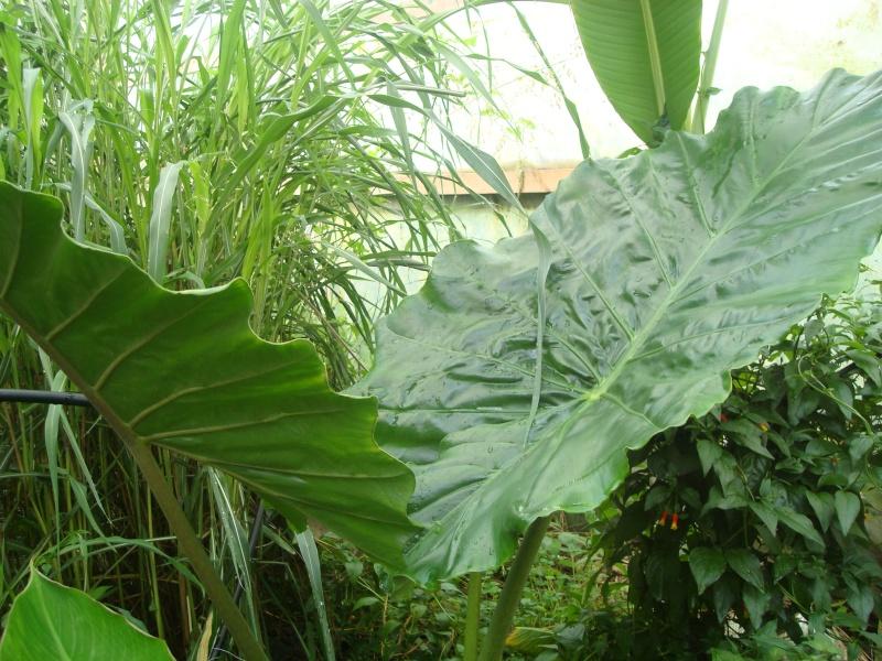 Alocasia macrorrhiza 'Borneo Giant' Dsc02011