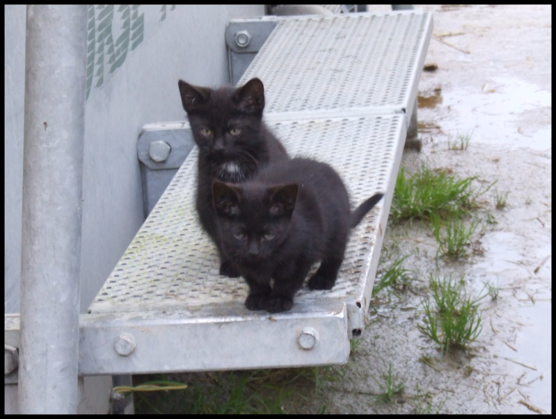 (50) 3 chatons noirs Aubade12
