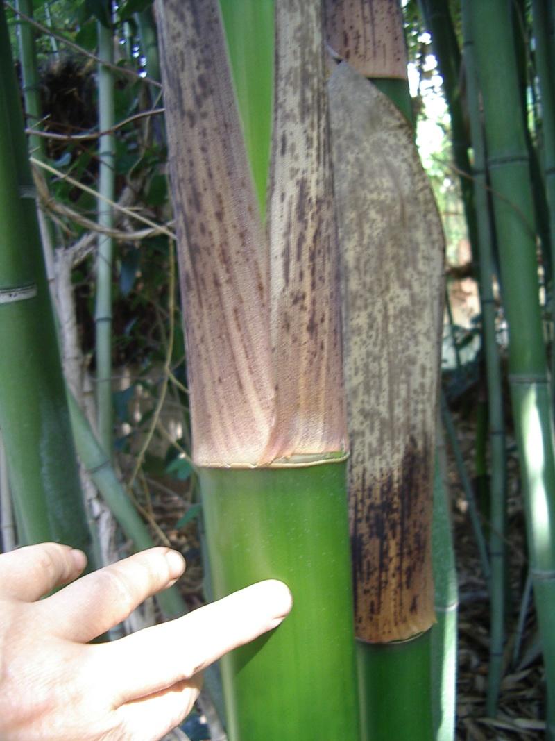 quel est ce bambou? Lion_313