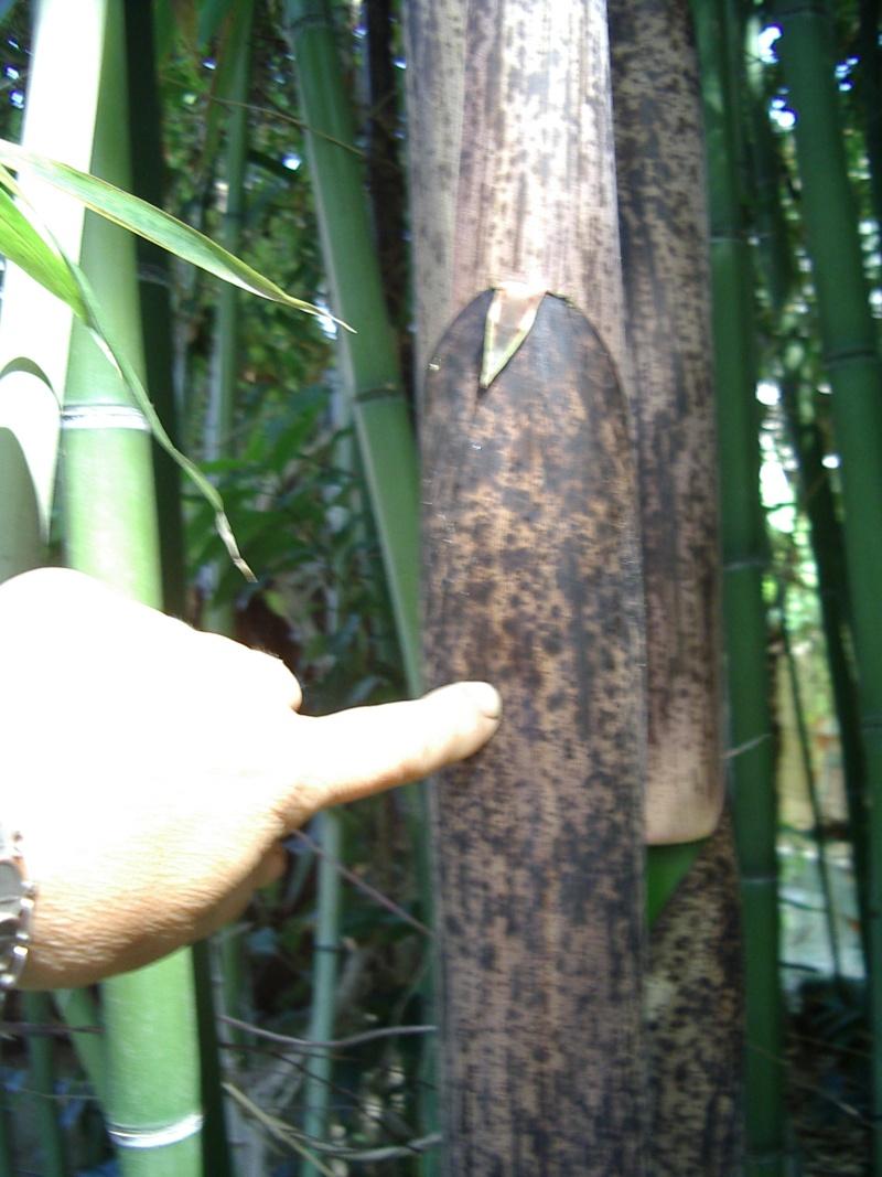 quel est ce bambou? Lion_314
