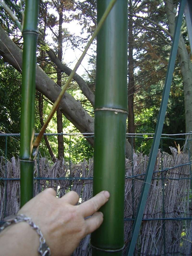 quel est ce bambou? Lion_315