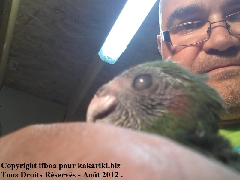Mon bébé Kakariki à un voile sur l'oeil  20120818