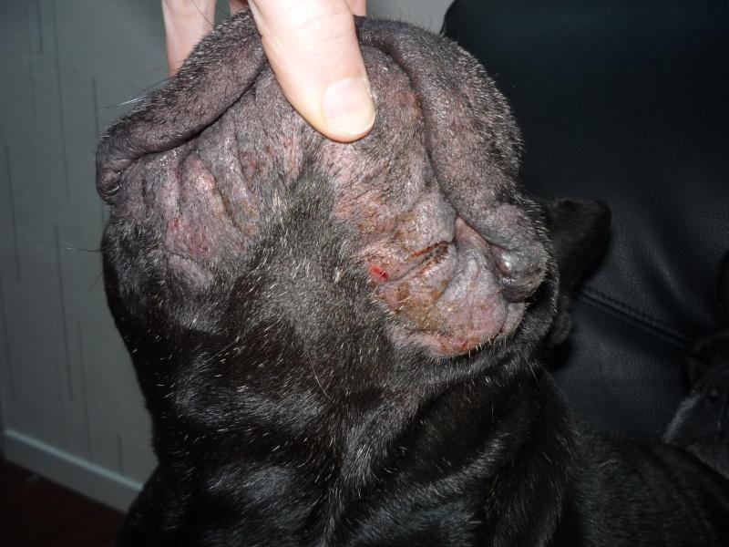 Dermatite à Malassezia P1020110