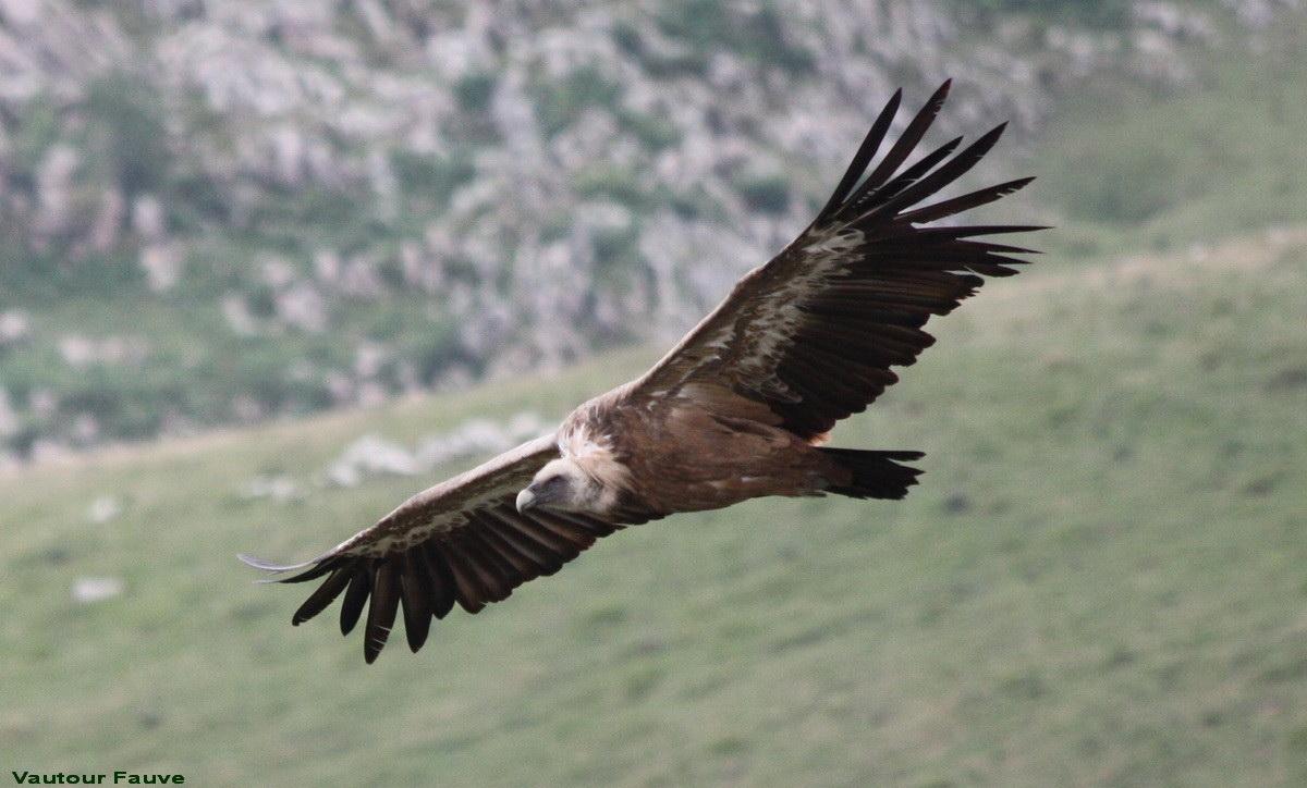 Après le Loup, les vautours Img_5810