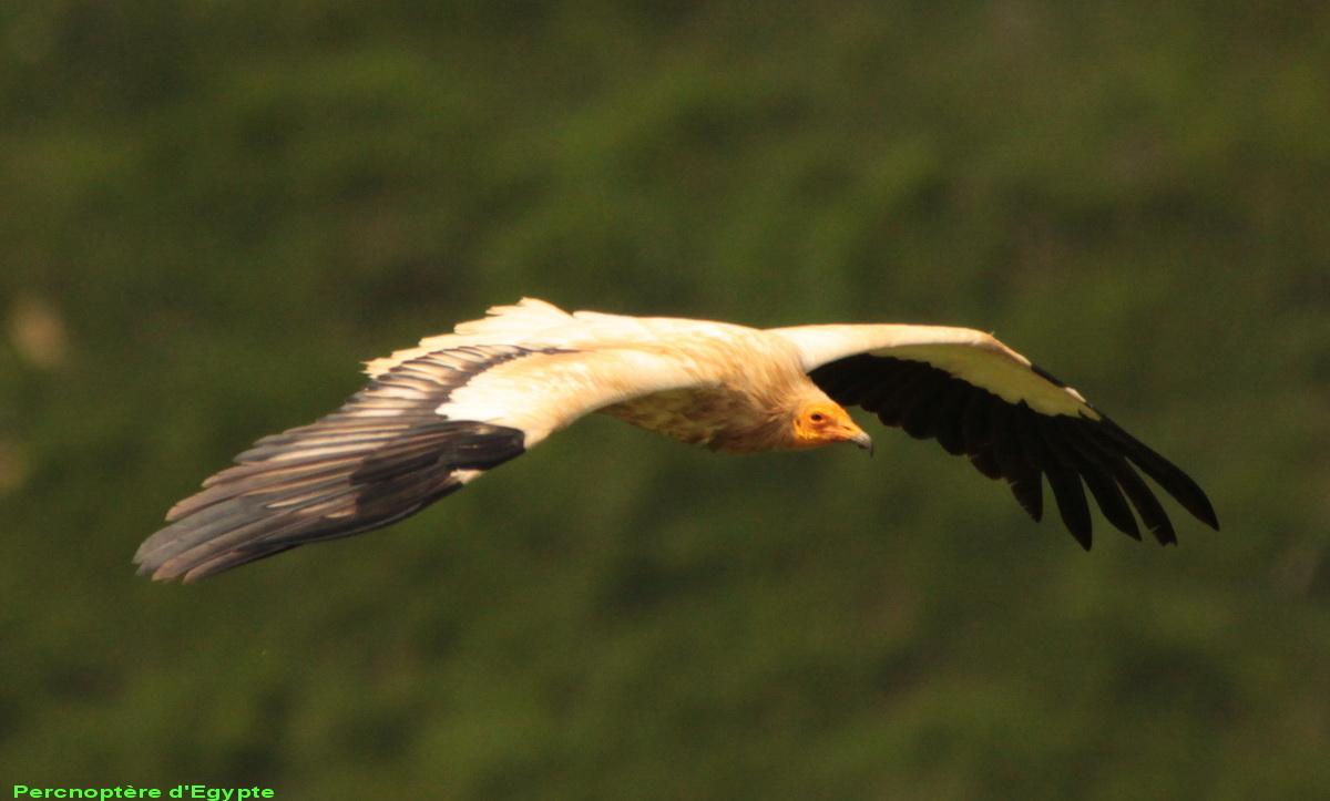 Après le Loup, les vautours Img_9311