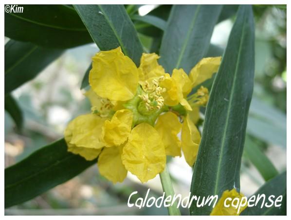 Fleur de quiz - Gardenia cornuta Calode10