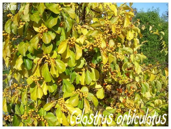 Celastrus orbiculatus Celast10
