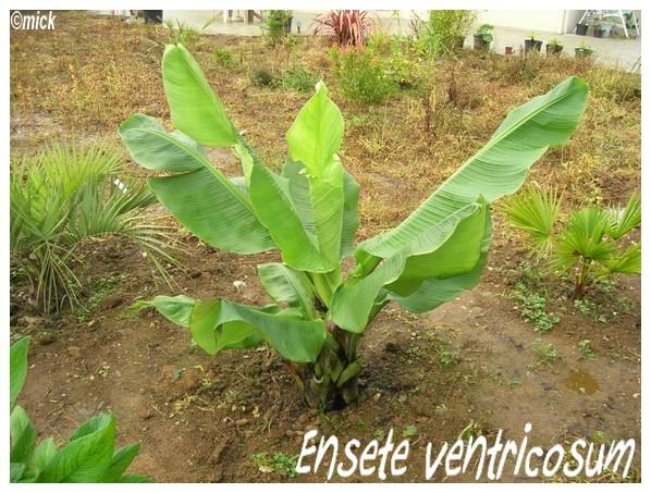 Ensete ventricosum ( Fiche ) Dscn1210