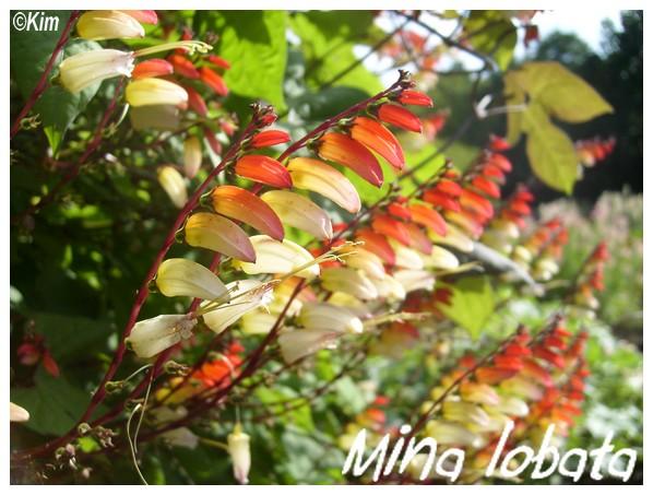 Mina lobata Mina_l10