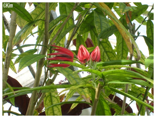 Quiz nouveau! - Pavonia multiflora Quiz_n10
