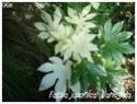 Fatsia japonica ( Fiche ) Fatsia10