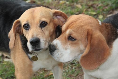 PENNY, beagle femelle, 12 ans, SPA de chateaudum - en FA chez moi  215