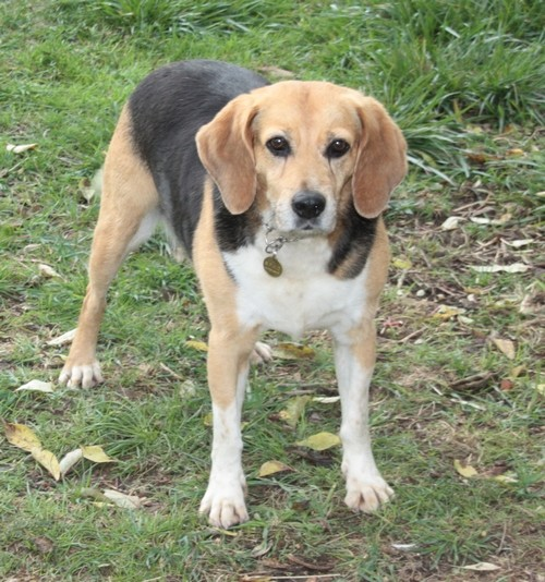PENNY, beagle femelle, 12 ans, SPA de chateaudum - en FA chez moi  312