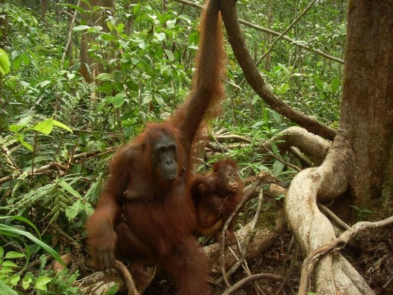 [Indonésie] - Camp Leakey (Kalimantan, Tenggah), centre de recherche sur l'oran-outang 26513710