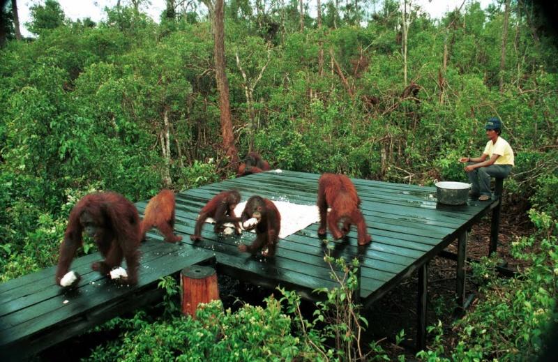 [Indonésie] - Camp Leakey (Kalimantan, Tenggah), centre de recherche sur l'oran-outang 34799410