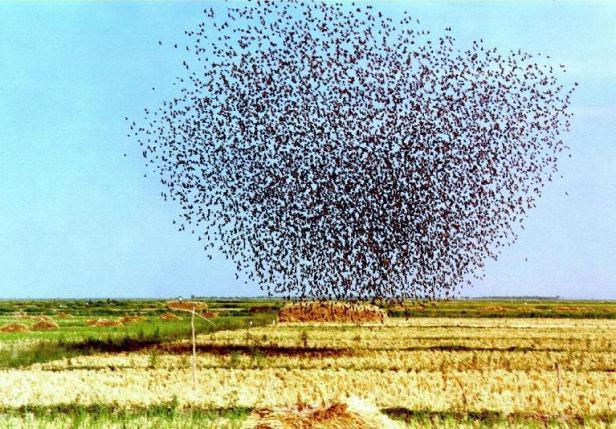 L'Ouganda extermine 1,8 million d'oiseaux pour protéger des rizières Articl14