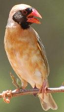 L'Ouganda extermine 1,8 million d'oiseaux pour protéger des rizières Travai10