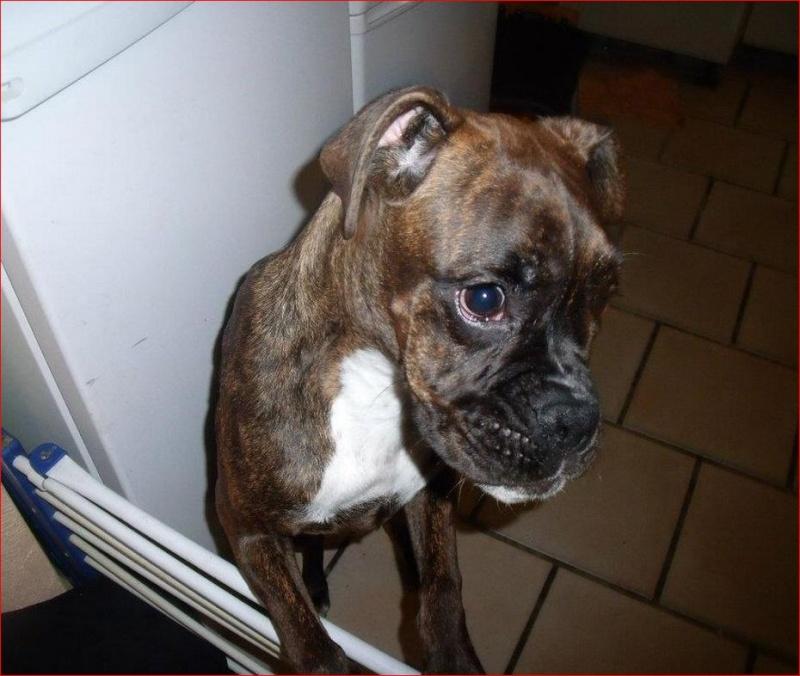 Boxer bringé femelle ( belgique) Boxer210