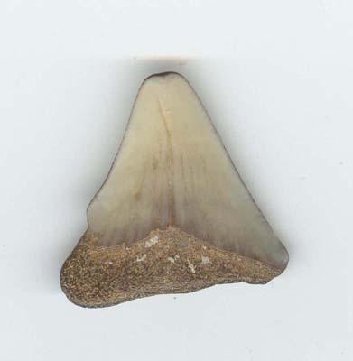 Mes dents de Megalodon Megalo19