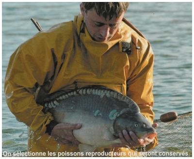 Pourquoi personne ne pêche le Louroux Carpe_16