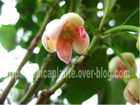 [Illiciaceae] Illicium verum, anis etoilé quelle region?!!! Illici10